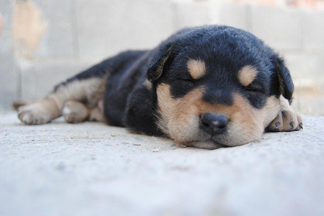 las primeras vacunas del perro