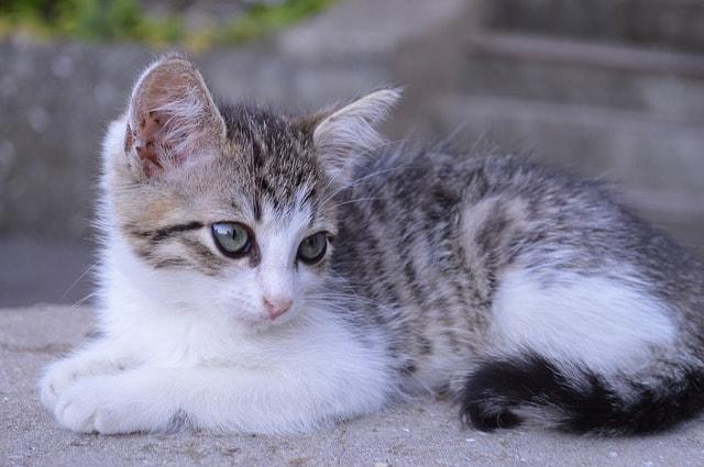 primeras vacunas del gato
