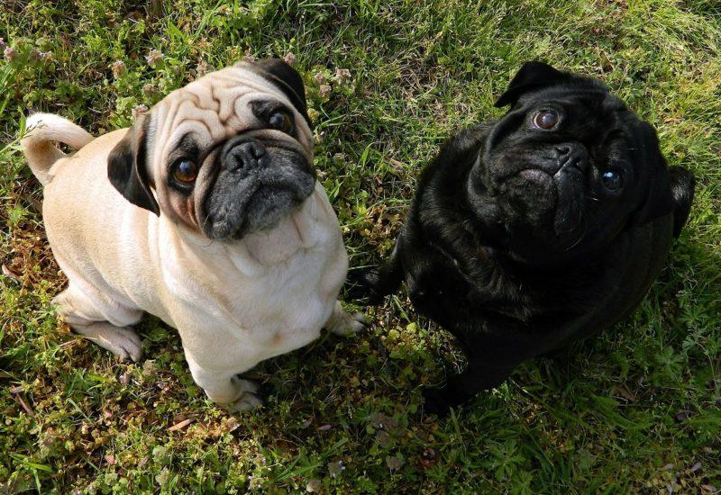 predisposición racial a enfermedades en perros