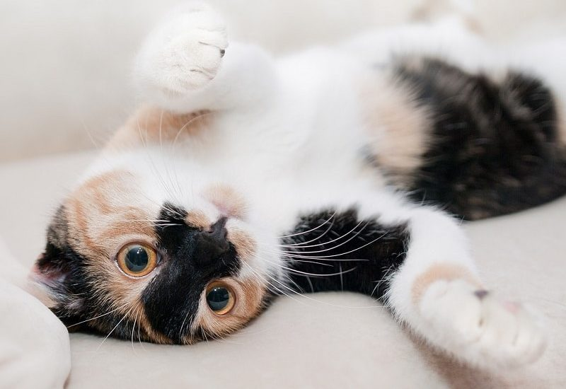 gato transportin, feromonas para gatos, veterinario gatos