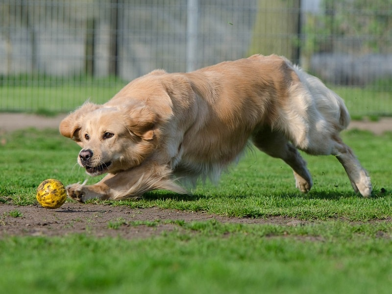 golden retriever corriendo, displasia en perro