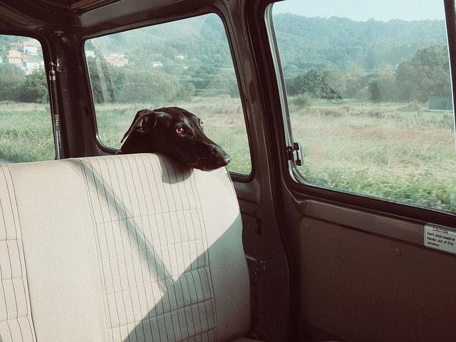 galgo en el coche, combatir el calor en mascotas
