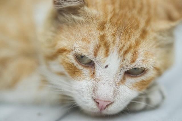 anemia en gatos, gato atigrado naranja, triste