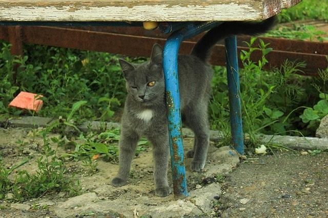 el celo en gatas, gato marcando