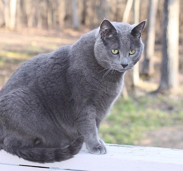 peso en gatos